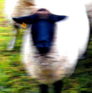 sheep8cw.jpg